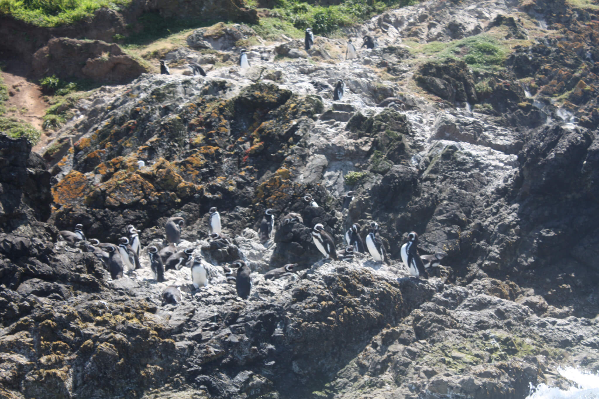 Penguins, Puñihuil