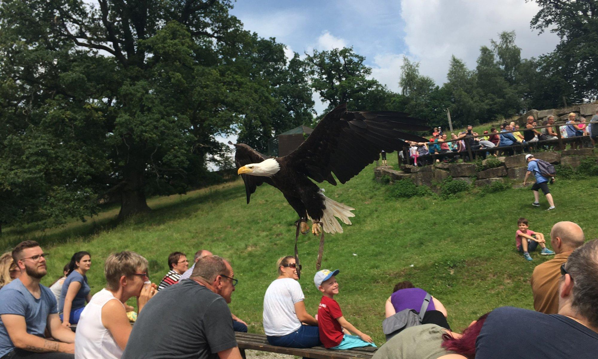 Bald eagle 'Joker', Sababurg, Hofgeismar, Germany