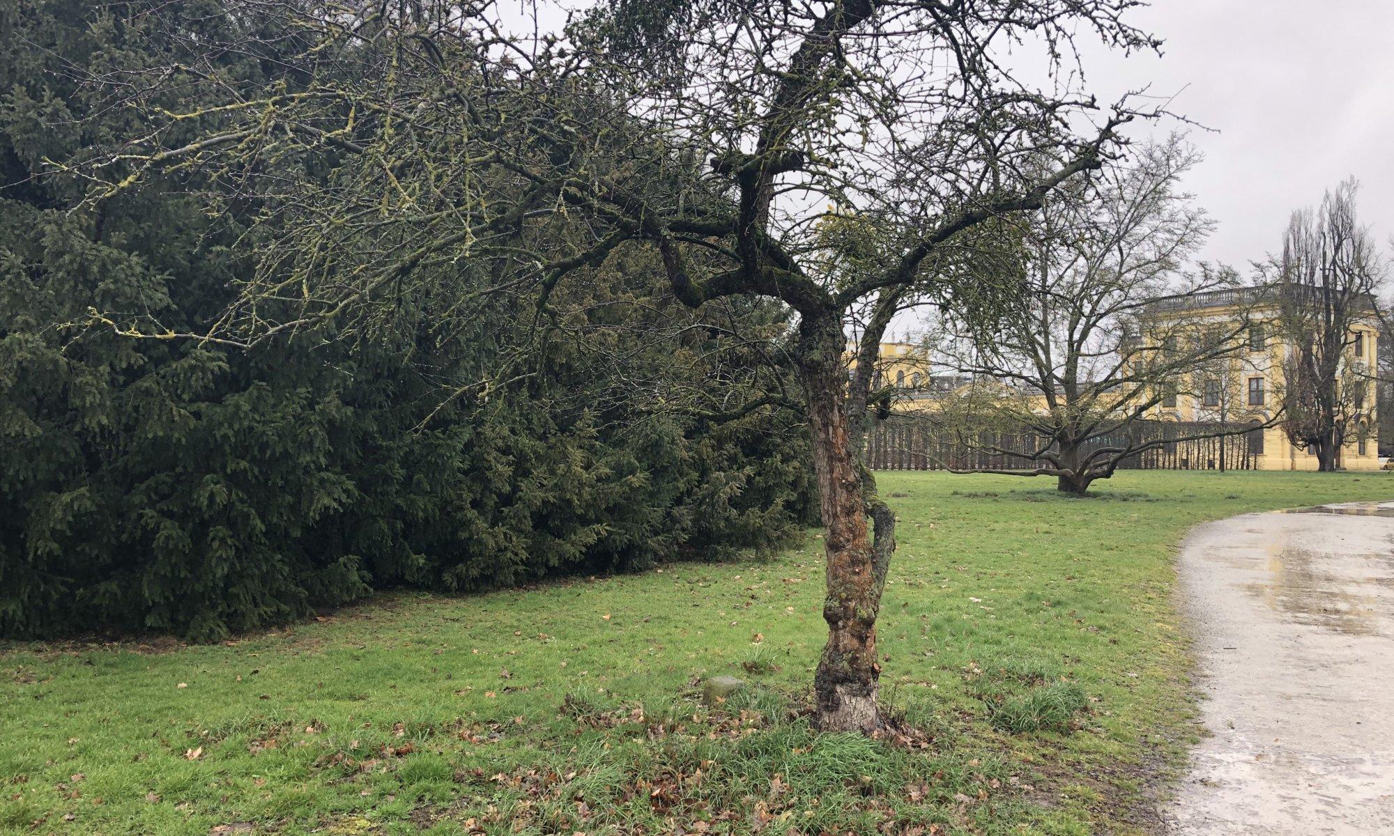 Arkansas Black Apple tree, Karlsaue, Kassel