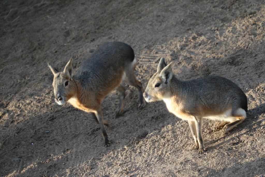 Maras, Zoo Arche Noah, Grömitz