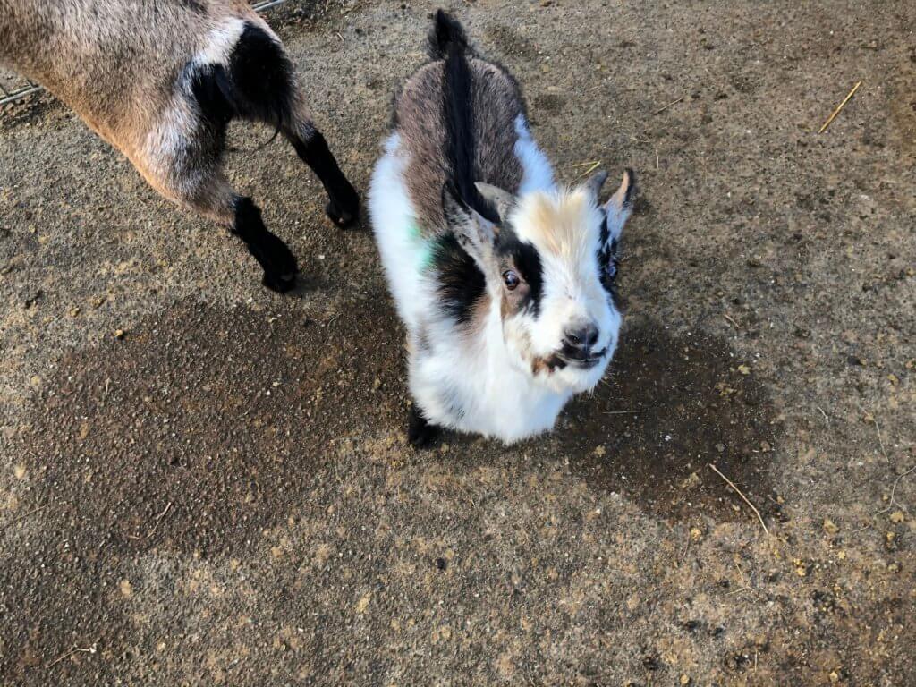 Goat, Zoo Arche Noah, Grömitz