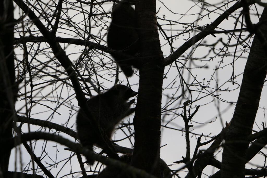 Raccoons, Zoo Arche Noah, Grömitz