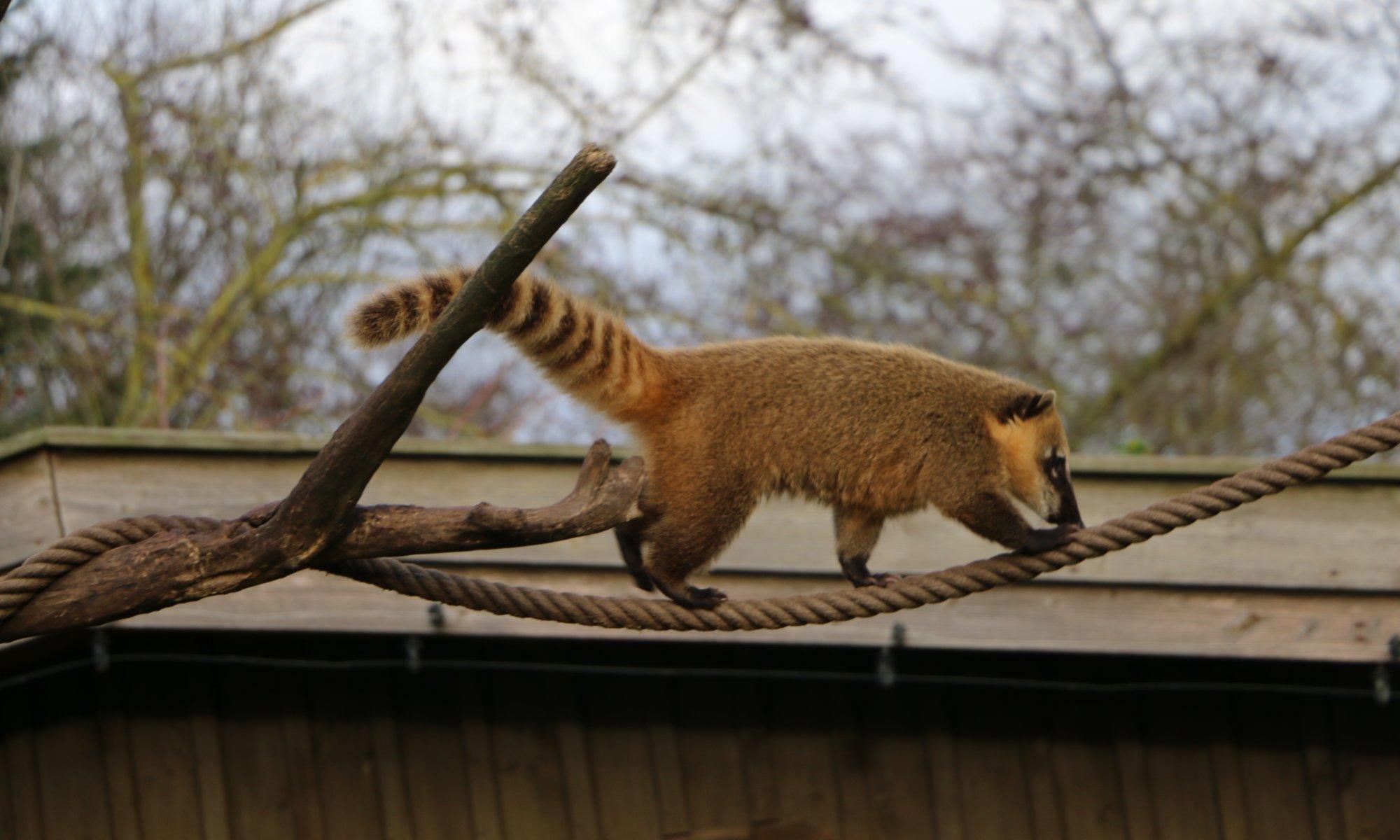 Coati, Zoo Arche Noah, Grömitz